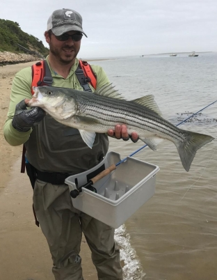 Nice Cape Cod striper on the fly