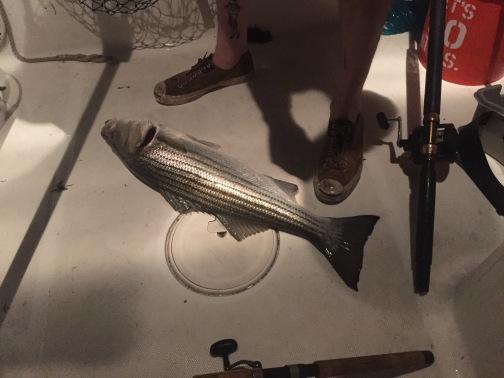 Boston Harbor striper on live eels