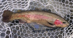 Winter Rainbow Trout on the Swift River